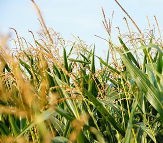 Felder des Lieblhofs in Suben (Bez. Schärding) mit Sonnenblume